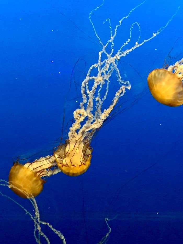 Three glowing jellyfish swim through dark blue water.